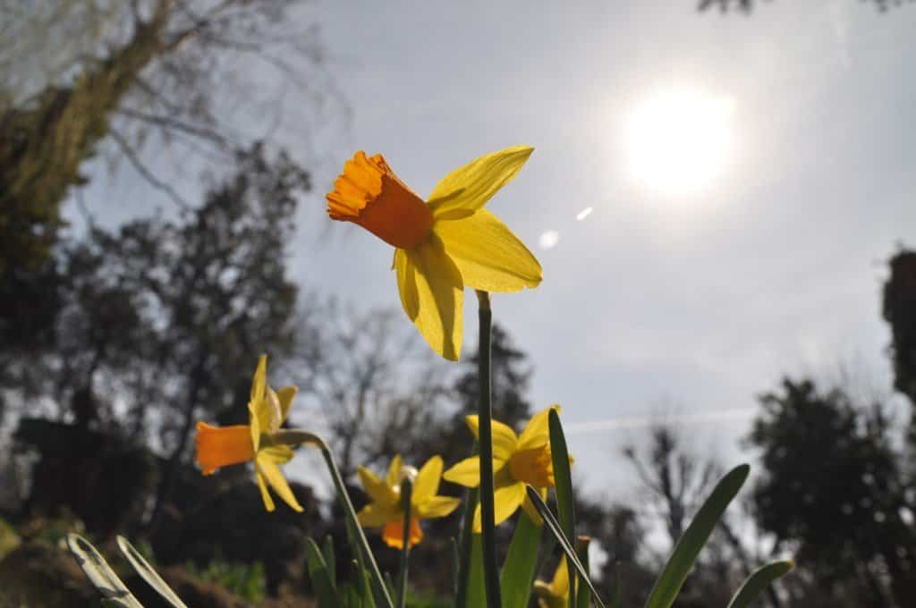 Sun-and-daffodils785